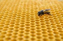 Pszczoła miodu komórki Fotografia Royalty Free