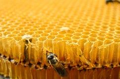 Pszczoła miodu komórki Zdjęcia Royalty Free