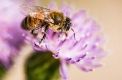 Pszczoła na agrimony kwiacie Zdjęcie Stock