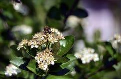 Pszczo?a na aronia kwiacie obraz stock