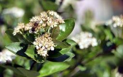Pszczo?a na aronia kwiacie obrazy stock