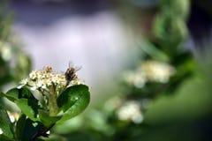 Pszczo?a na aronia kwiacie zdjęcia stock
