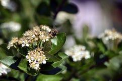 Pszczo?a na aronia kwiacie zdjęcia royalty free