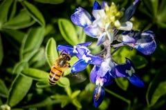 Pszczoła na Bluebonnet Obrazy Royalty Free