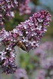 Pszczoła na bzie Obraz Royalty Free