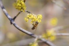 Pszczoła na cornus mas Obrazy Royalty Free