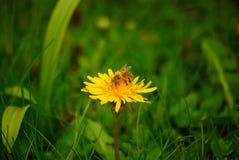 Pszczoła na Dandelion Zdjęcia Stock