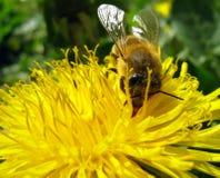 Pszczoła na Dandelion Zdjęcia Royalty Free