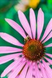 Pszczoła na echinacea kwiacie w lecie Fotografia Stock