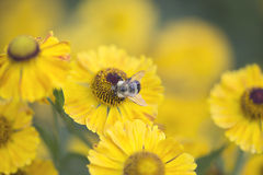 Pszczoła na Helenium Fotografia Royalty Free