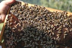 Pszczoła na komórce Obrazy Stock