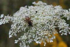 Pszczoła na królowej Anne ` s koronce Zdjęcia Stock