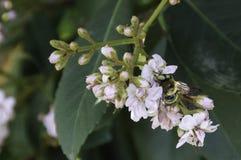 Pszczoła na kwiacie Zdjęcia Stock