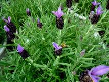 Pszczoła na kwiacie Obrazy Stock