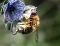 Pszczoła na kwiacie Zdjęcie Royalty Free