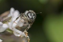 Pszczoła na kwiacie Fotografia Stock