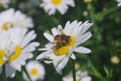 Pszczo?a na kwiacie biel obrazy stock