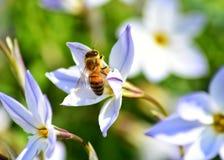 Pszczo?a na kwiacie obraz royalty free