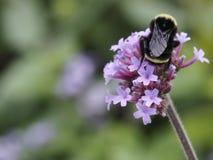 Pszczo?a na kwiacie zdjęcia stock