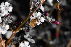 Pszczo?a na kwiacie zdjęcie royalty free