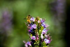 Pszczoła na kwiatach Zdjęcia Royalty Free