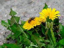 Pszczoła na kwiatu dandelion Obraz Stock