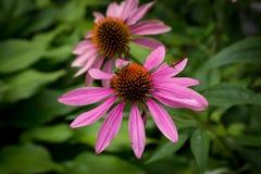 Pszczoła na kwiatu gailardia Obrazy Royalty Free