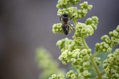 Pszczo?a na kwiatu p?czku Zbieracka kwiat esencja fotografia stock