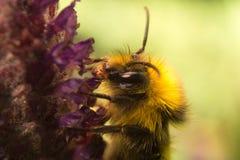 Pszczoła na lawendowym kwiacie Obrazy Royalty Free