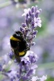 Pszczoła na lawendzie Obraz Royalty Free