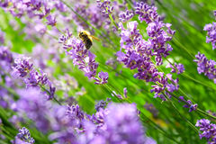 Pszczoła na lawendzie Obraz Stock