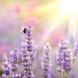 Pszczo?a na lawendzie obrazy stock