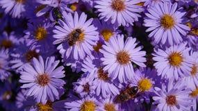 Pszczoła na lilych asterach w pogodnej pogodzie Zdjęcie Royalty Free