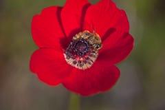 Pszczoła na Makowym kwiacie Fotografia Royalty Free