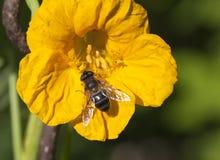 Pszczoła na nastrution kwiacie Fotografia Royalty Free