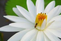 Pszczoła na owocolistku Lotus fotografia royalty free