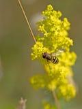 Pszczoła na Rapeseed Obraz Stock
