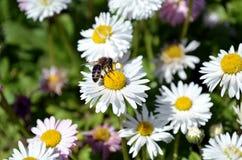 Pszczoła na rumianku zdjęcia stock