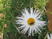 Pszczoła na stokrotce Zdjęcie Royalty Free