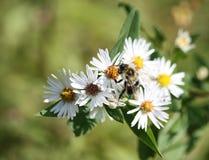 Pszczoła na stokrotce Fotografia Stock