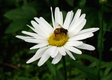 Pszczoła na stokrotka kwiacie Fotografia Stock