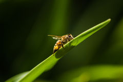 Pszczoła na trawie Zdjęcie Stock