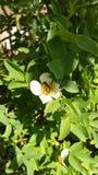 Pszczoła na wildrose Zdjęcia Royalty Free
