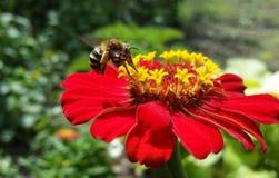 Pszczoła podczas gdy collenekting nektar zdjęcie royalty free