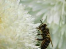 Pszczoła podnosi up nektar na Terry stokrotce Zdjęcia Royalty Free