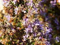 Pszczoła Polinizing Zdjęcie Stock