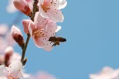 pszczoła pracownika Obraz Stock