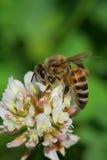 pszczoła pracownika Zdjęcie Royalty Free