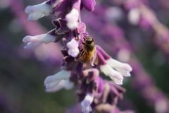 Pszczoła przy kwiatem Zdjęcie Stock