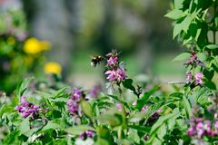 Pszczo?a obrazy stock